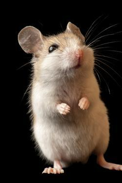 A Choctawhatchee beach mouse, a federally-endangered rodent by Joel Sartore
