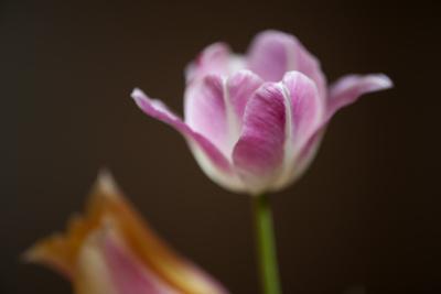 A Close-Up of a Tulip by Joel Sartore