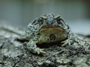 A Close View of a Wyoming Toad by Joel Sartore