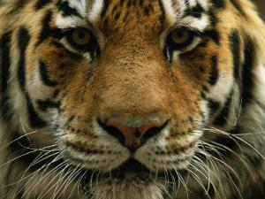 A Close View of the Face of Khuntami, a Male Siberian Tiger, in a Zoo by Joel Sartore
