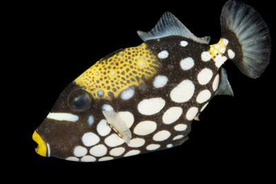A Clown Triggerfish, Balistoides Conspicillum.