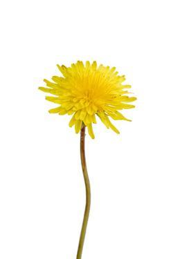 A Common Dandelion, Taraxacum Officinale by Joel Sartore