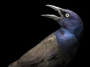 A Common Grackle, Quiscalus Quiscula by Joel Sartore