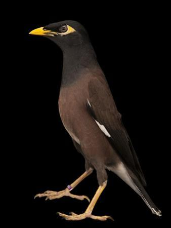 A Common Myna or Indian Myna, Acridotheres Tristis