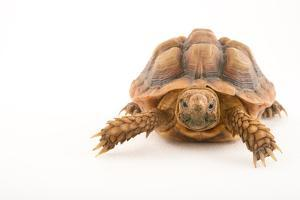 A common padloper tortoise, Homopus areolatus, at the Turtle Conservancy. by Joel Sartore