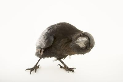 A Common Raven, Corvus Corax Principalis, at the Los Angeles Zoo. by Joel Sartore