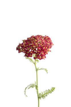 A Common Red Yarrow Plant, Achillea Millefolium by Joel Sartore