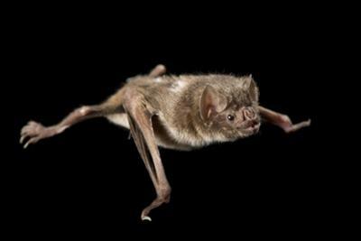 A Common Vampire Bat, Desmodus Rotundus. by Joel Sartore