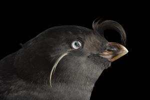A Crested Auklet, Aethia Cristatella, at the Cincinnati Zoo by Joel Sartore