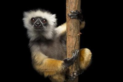 A Critically Endangered Diademed Sifaka, Propithecus Diadema, at Lemur Island. by Joel Sartore