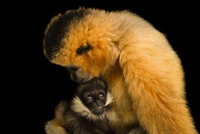 A Critically Endangered Female Northern White Cheecked Gibbon with Her Year Old Baby. by Joel Sartore