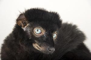 A Critically Endangered, Male Blue-Eyed Black Lemur, Eulemur Flavifrons, at the Duke Lemur Center by Joel Sartore