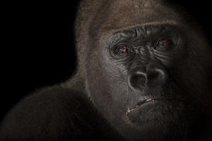A Critically Endangered Male Western Lowland Gorilla, Gorilla Gorilla. by Joel Sartore