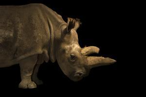 A critically endangered Northern white rhinoceros at the Dvur Kralove Zoo. by Joel Sartore