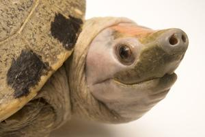 A Critically Endangered Painted Terrapin at Omaha's Henry Doorly Zoo by Joel Sartore