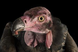 A Critically Endangered Pondicherry Vulture, Sarcogyps Calvus, at the Palm Beach Zoo by Joel Sartore