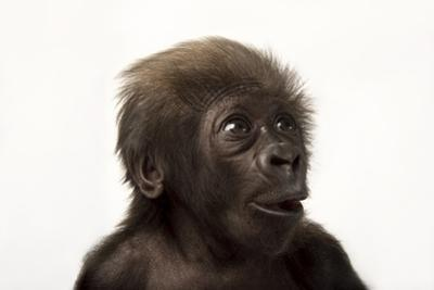 A Critically Endangered, Six-Week-Old, Female, Baby Gorilla, Gorilla Gorilla Gorilla, at the Cincin by Joel Sartore