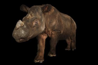 A Critically Endangered Sumatran Rhinoceros, Dicerorhinus Sumatrensis. by Joel Sartore