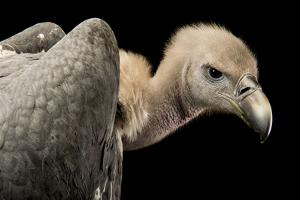 A Critically Endangered White Rumped Vulture, Gyps Bengalensis, at Kamla Nehru Zoological Garden by Joel Sartore