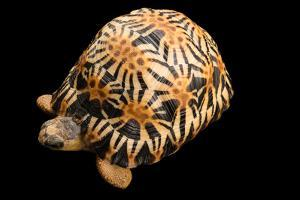 A Critically Endangered, Yearling Radiated Tortoise at the Turtle Conservancy by Joel Sartore