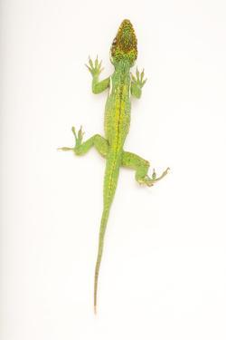 A Cuban Knight Anole, Anolis Equestris, at the Houston Zoo by Joel Sartore