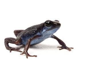 A Darkland Morph of the Strawberry Poison Dart Frog, Oophaga Pumilio by Joel Sartore