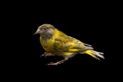 A Domestic Form of a Black Headed Greenfinch, Carduelis Ambigua, from a Private Collection