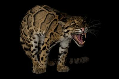A Federally Endangered Clouded Leopard, Neofelis Nebulosa