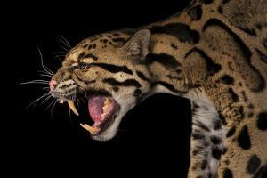 A Federally Endangered Clouded Leopard, Neofelis Nebulosa by Joel Sartore