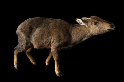 A federally endangered, female Himalayan goral, Naemorhedus goral by Joel Sartore