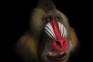 A Federally Endangered Mandrill, Mandrillus Sphinx, at the Gladys Porter Zoo by Joel Sartore