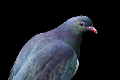 A Federally Endangered New Zealand Pigeon, Hemiphaga Novaeseelandiae, at the Auckland Zoo by Joel Sartore