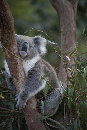 A Federally Threatened Koala at a Wildlife Sanctuary by Joel Sartore