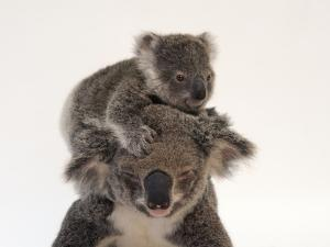 A Federally Threatened Koala Climbs on Top of its Mother, Who Has Conjunctivitis by Joel Sartore