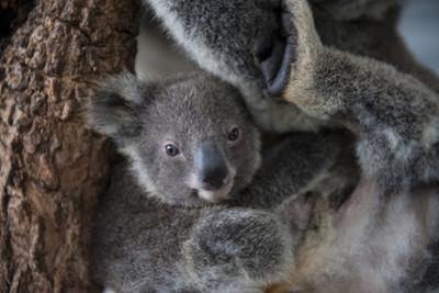 A Federally Threatened Koala Joey Snuggles Against Its Mother by Joel Sartore
