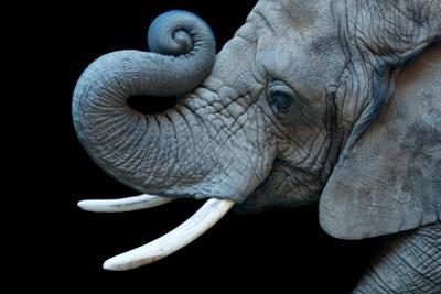 A Female African Bush Elephant, Loxodonta Africana.