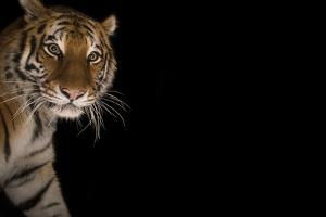 A Female Amur Tiger at the Cheyenne Mountain Zoo by Joel Sartore