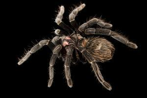 A female Colombian lesser black tarantula, Xenesthis immanis, at the Budapest Zoo. by Joel Sartore