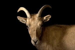 A female desert bighorn sheep, Ovis canadensis nelsoni by Joel Sartore