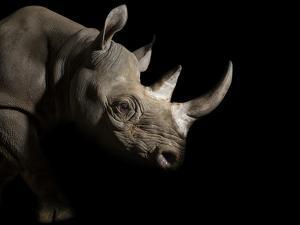 A Female Eastern Black Rhino, Diceros Bicornis Michaeli, Named Imara by Joel Sartore