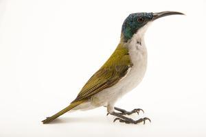 A Female Green Headed Sunbird, Cyanomitra Verticalis, at a Private Collection by Joel Sartore