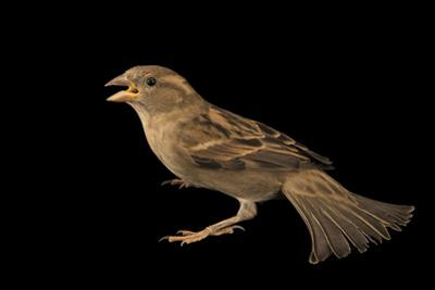 A Female House Sparrow, Passer Domesticus Balearoibericus by Joel Sartore