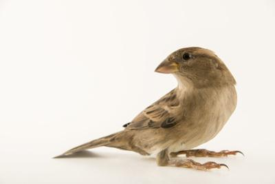A Female House Sparrow by Joel Sartore