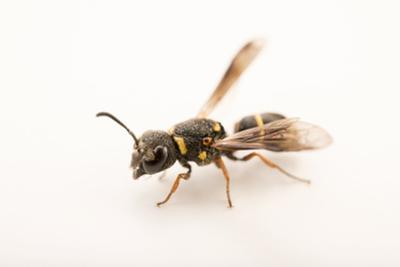 A female mason wasp, Anistrocerus campestris by Joel Sartore