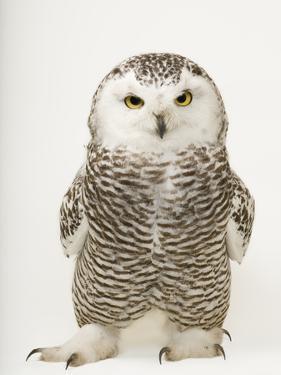 A Female Snowy Owl, Bubo Scandiacus, at Raptor Recovery Nebraska by Joel Sartore
