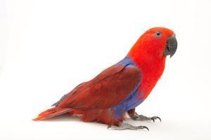 A Female Solomon Islands Eclectus Parrot, Eclectus Roratus Solomonensis by Joel Sartore