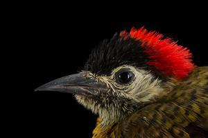 A female spot breasted woodpecker, Colaptes punctigula by Joel Sartore