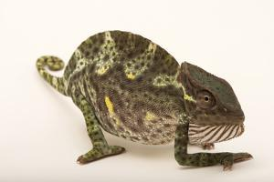 A female Usambara three horned chameleon from a private collection. by Joel Sartore