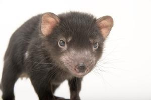 A five month old, endangered Tasmanian devil joey at Healesville Sanctuary. by Joel Sartore