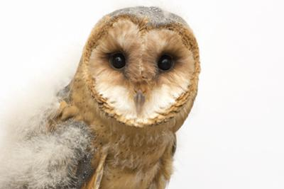 A fledgling European barn owl, Tyto alba guttata, from the Plzen Zoo. by Joel Sartore